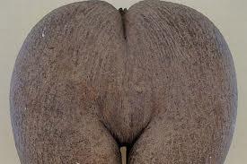 COCO DE MER - kokosnoot
