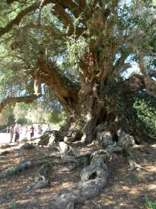 '.. 800 jaren oude olijfboom..'