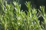 kruidblog rozemarijn1