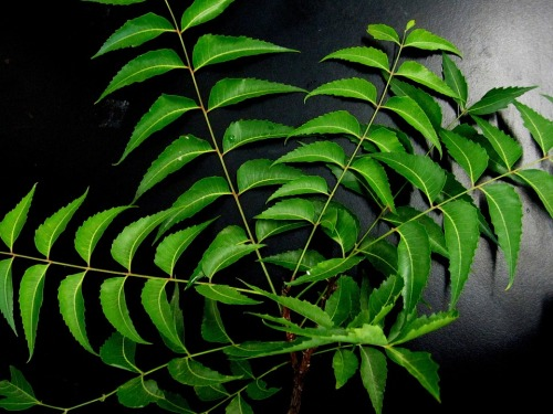 neem-blad