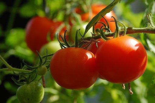 tomaten-plant