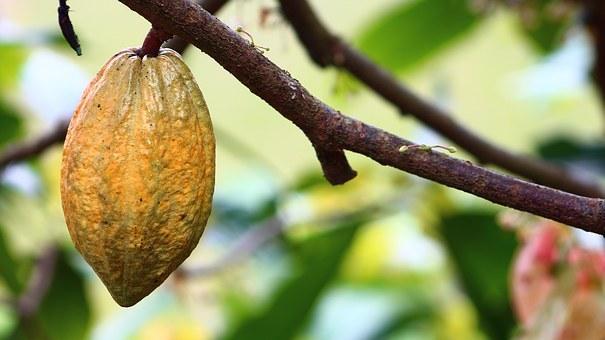 cacao-vrucht-aan-de-boom