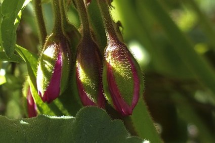 Koude-thee-voor-mooie-geraniums