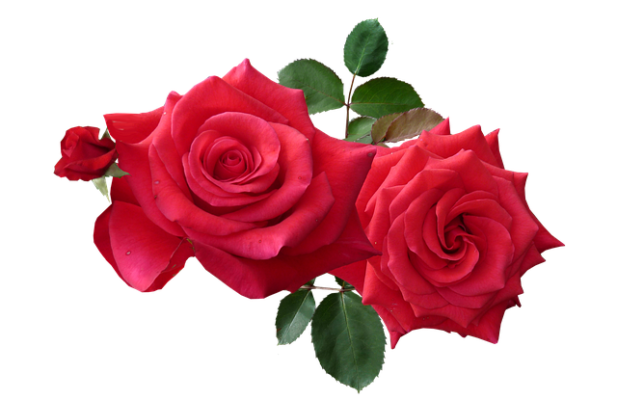 valentijnsdag-rode-rozen