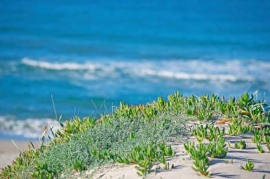 Zee-banaan-groeit-op-het-strand