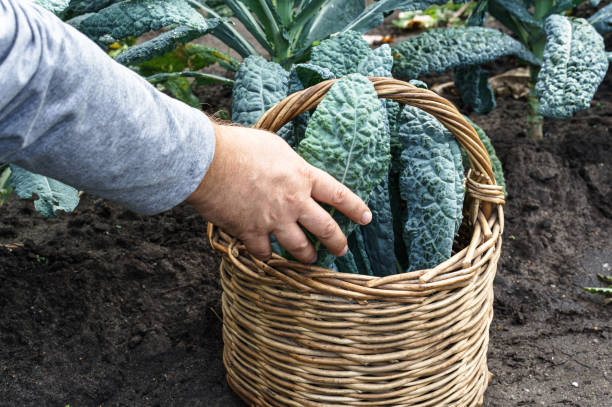 Man puts lacinato kale leaves into the basket. Harvesting on a farm