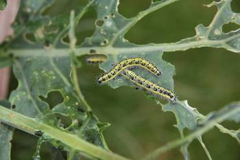 Cabbage white caterpillars feeding on the leaf of cavalo nero plant