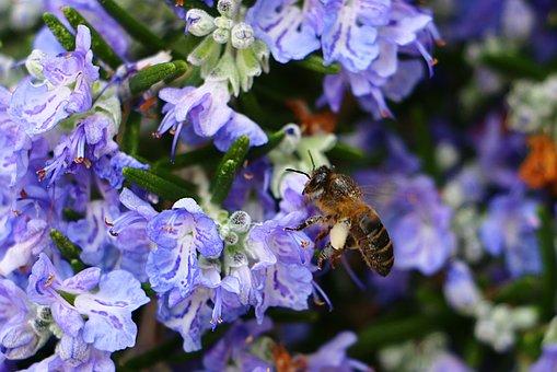 rozemarijn-bloemen-en-bijen