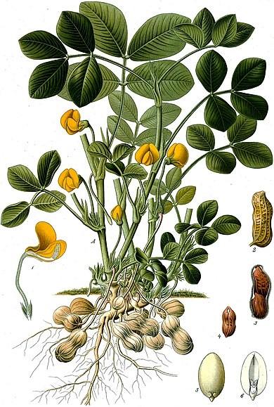 pindaplant